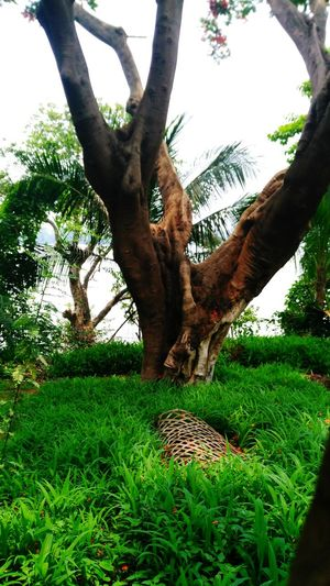Very Old Tree Beside Ganga