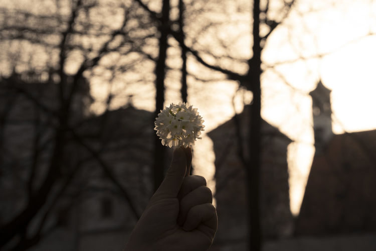 Cropped image of person holding white flower during sunset