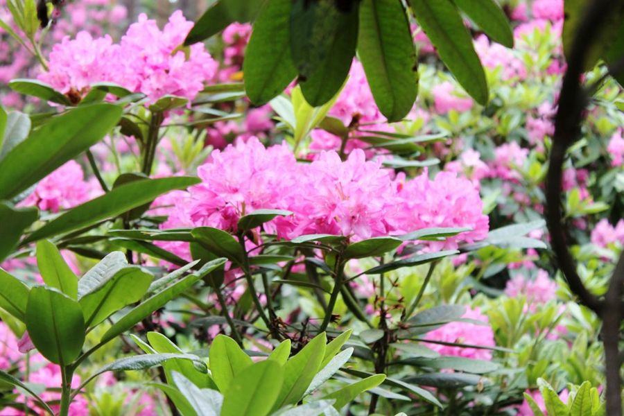 Flower Pink Color Leaf Nature Plant Green Color Outdoors No People Beauty In Nature Springtime Summer Day Flower Head Close-up Fragility Freshness Pink Flower Many Flowers Flower Field Garden Flowergarden Flowers Manyflowers Freshness Botanical Garden