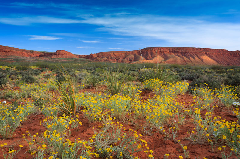 Desert wildflowers in Warner Valley, nearby St George, Utah Southwest  BeUTAHful Utah St George, Utah Flowers Wildflowers Desert Desert Beauty Yellow Flowers Canonphotography 5dmk3 5dmkiii Landscapes Fine Art Beautiful Landscapes Nature Naturelovers Yucca Yellow Blue Sky Landscapes With WhiteWall The KIOMI Collection Paint The Town Yellow