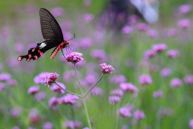 Butterfly pollinating on pink flower
