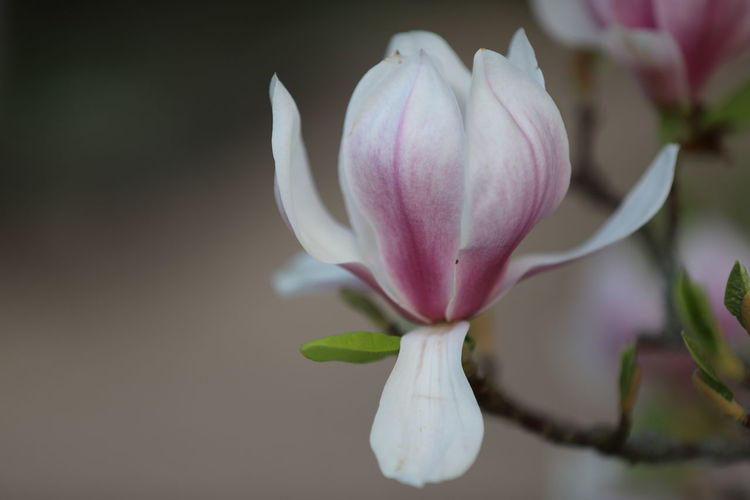 magnolia, Tulpenbaum Magnolia Magnolia Tree Tulpenbaum Beauty In Nature Close-up Day Flower Flower Head Flowering Plant Focus On Foreground Fragility Freshness Growth Inflorescence Nature No People Outdoors Petal Pink Color Plant Vulnerability  White Color
