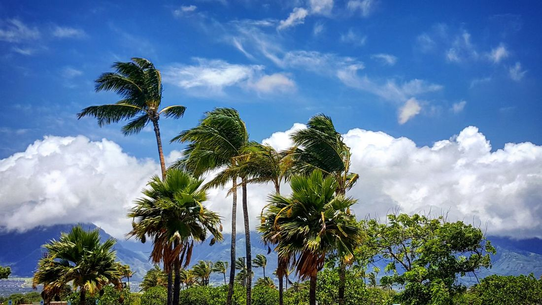 Cloud - Sky Tree Sky Blue Nature Palm Tree Low Angle View Day Beauty In Nature Social Issues Outdoors No People EyeEmNewHere Maui Hawaii Landscape Palm Tree