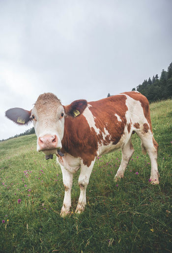 Curious cow looking at camera up close over a fence in Gerold, Bavaria Looking At Camera Animal Animal Themes Cattle Cow Curious Day Domestic Domestic Animals Domestic Cattle Fence Field Grass Herbivorous Land Landscape Livestock Mammal Nature No People One Animal Outdoors Pets Plant Sky