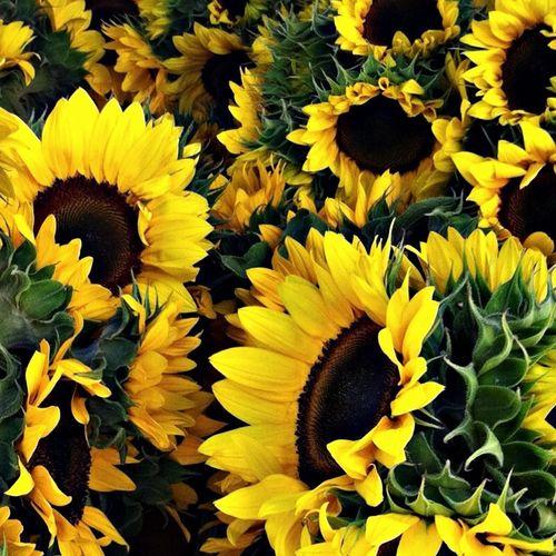 Sunflowers in winter. Enjoying Life Beautiful Soaking Up The Sun Flower Porn
