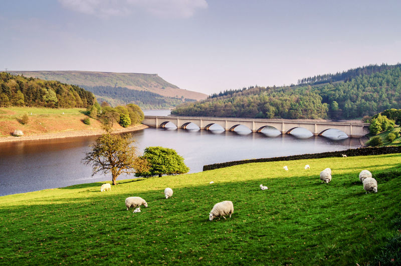Scenic view of sheep grazing on a riverbank