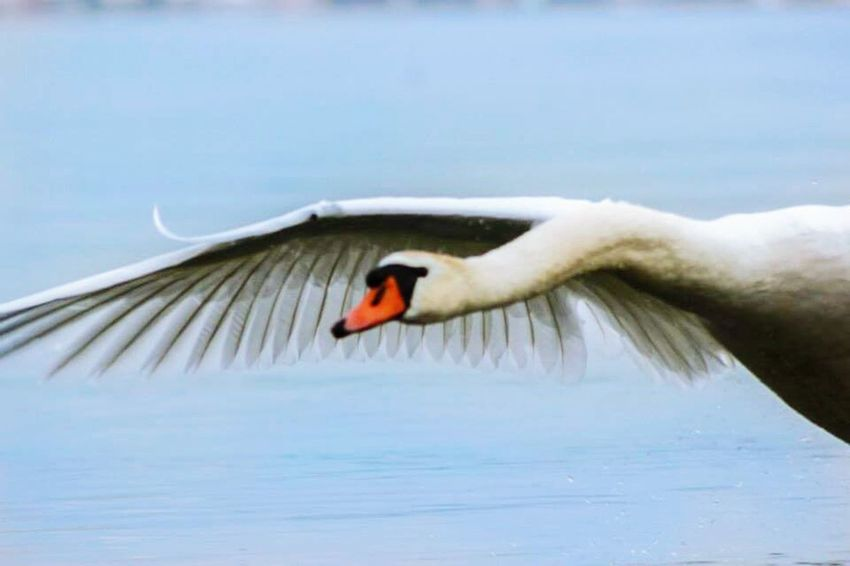 Swan Bodensee Big Birds Flying Swan