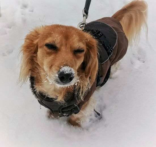 """""""Do you like winter???"""" Animal Themes AntiM Close-up Cold Temperature Dachshund Day Dog Dogs Of EyeEm Dogslife Domestic Animals Looking At Camera Mammal My Dogs Are Cooler Than Your Kids Nature No People One Animal Outdoors Pets Portrait Snow Snow Covered Snow Dog SweetSally Winter Winter Pet Portraits"""
