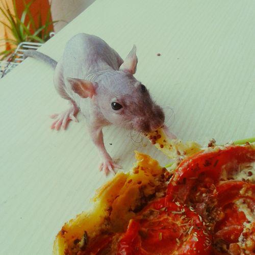 Lovely Rats Cute Pets Piglet Ilovemyrat Rat Hairless  Hairlessrat Voleuse Je Fais Que Des Bêtises