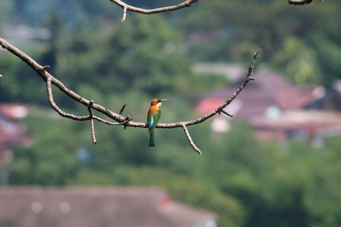Bee eater outside The Kek Lok Si Temple Birds Malaysia Beutiful Bird Bee Eater Bird Beauty In Nature