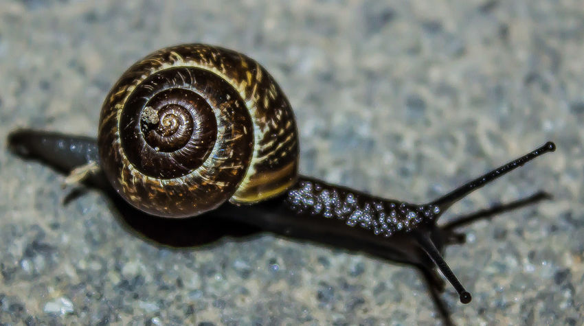 Snail Animal Life In The Urban Environment Animal Shell Asphalt Brown Clam Ground House Snail's Natural Pattern Nature Nature_collection One Animal Selective Focus Shell Snail Stylommatophora Wildlife Zoology асфальт домик улитки Коричневый моллюск Природа ракушка улитка черный