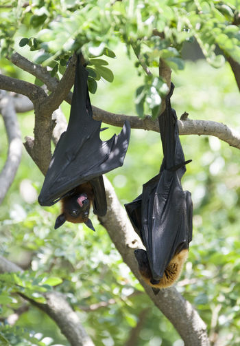 Foxbats in Thailand ASIA BIG Bat Thailand Animal Themes Animal Wildlife Animals In The Wild Bat - Animal Beauty In Nature Black Black Color Branch Focus On Foreground Fox Fox Bat Foxbat Full Length Hanging Low Angle View Mammal Nature One Animal Outdoors Tree Upside Down