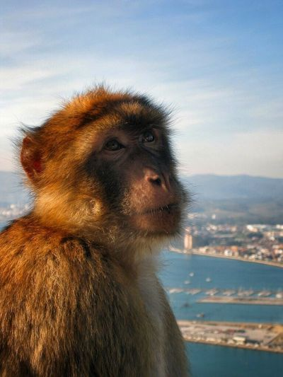 Barbary ape Ape Barbary Ape Macaque Monkey Monkeys Gibraltar Gibraltar Rock One Animal Animals In The Wild Mammal Wildlife Focus On Foreground Mountain Day Zoology Close Up Portrait Animals PortraitPhotography