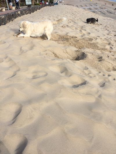 Fuerteventura Animal Themes Sand Beach Domestic Animals Dog Digging A Hole Dogs Playing  Pets