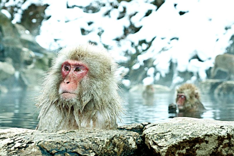 Close-Up Of Japanese Macaque By Rock In Hot Spring