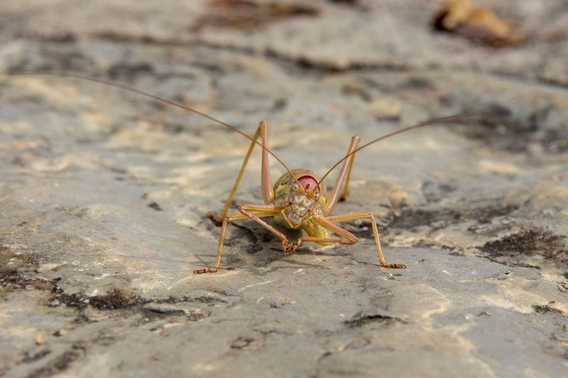 Close-up Grasshopper Insect Animal Antenna Bug Arthropod
