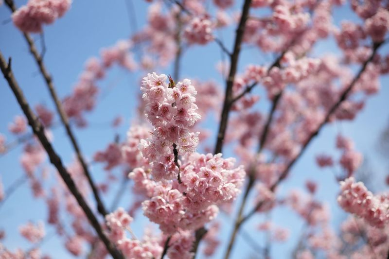 Cherry Blossoms Cherry Blossom Flowering Plant Flower Plant Fragility Growth Beauty In Nature Freshness Blossom Springtime Tree Pink Color Branch Close-up Nature Day No People Sky Focus On Foreground