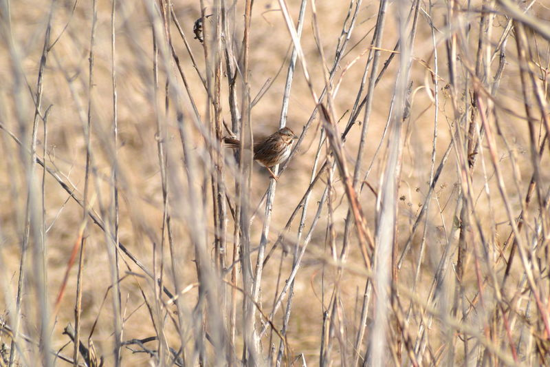 Bird in a Bush Bird Bird Sighting Bird Perched Beauty In Nature Life Cereal Plant Backgrounds Agriculture Wheat Close-up Plant Reed - Grass Family Dried Plant Dead Plant Sparrow Perching