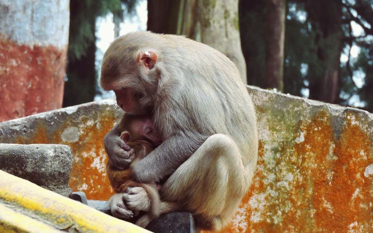Child Close-up Focus On Foreground Infant Monkey Motherlylove Primate Protective Young Animal Travel