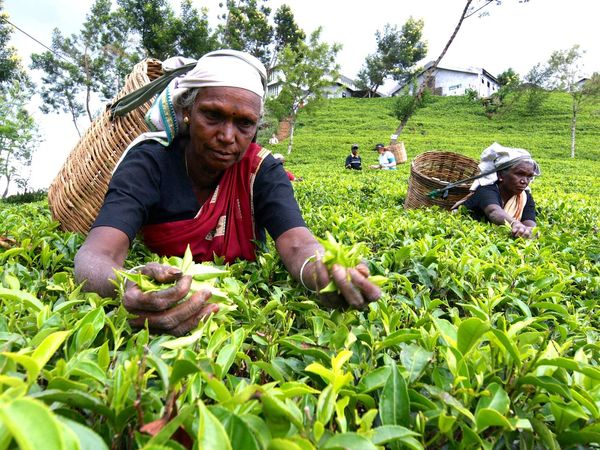 Day Focus On Foreground Masterchef Indonesia Production Team Person Plant SriLanka Srilankan Srilankatravel Tea Tea Garden Worker Teepflücker Teepflückerin Workers For Tea Woman Who Inspire You