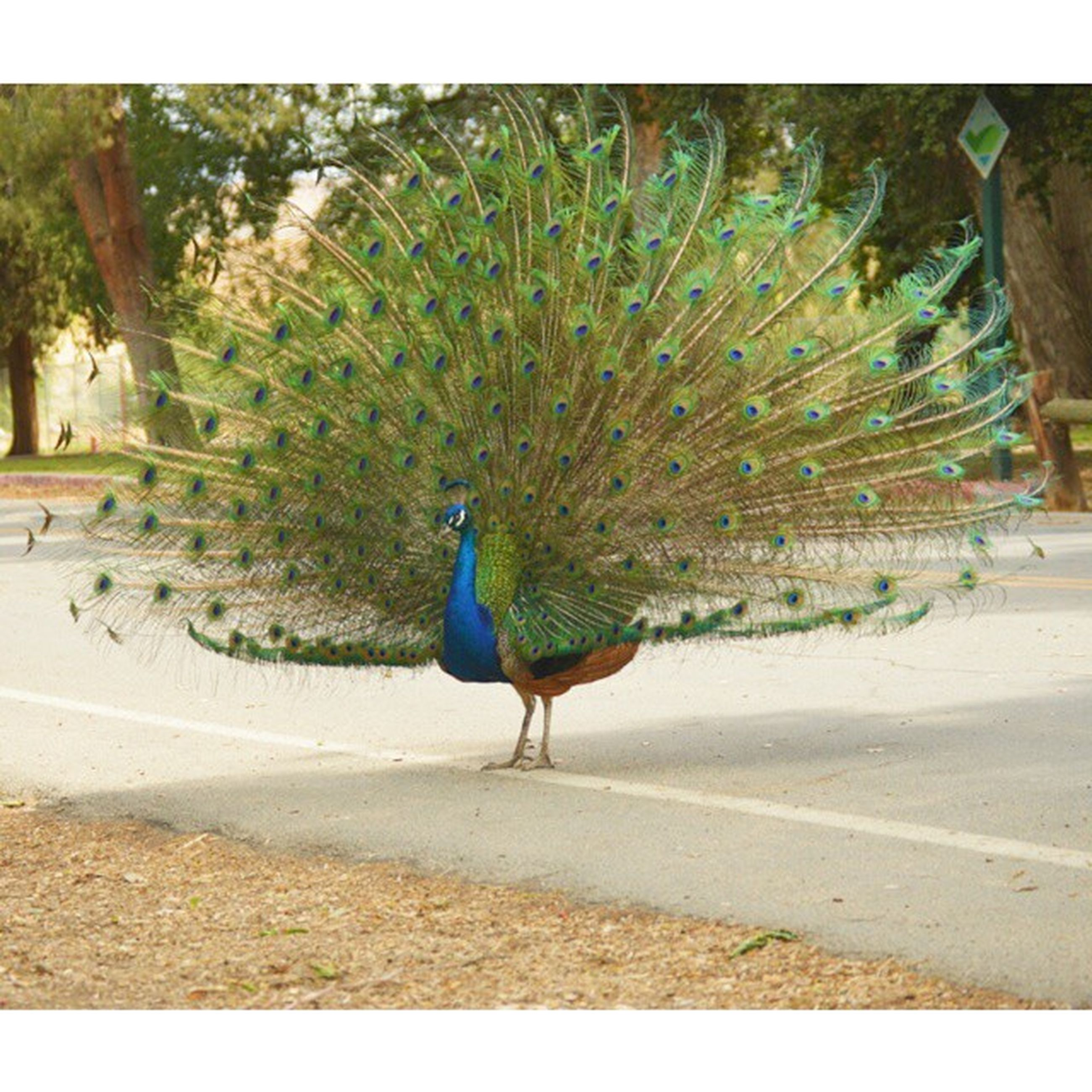 animal themes, bird, one animal, animals in the wild, wildlife, full length, peacock, nature, walking, outdoors, side view, perching, day, auto post production filter, sunlight, tree, feather, transfer print, green color, no people