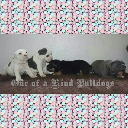 Available Oldeenglishbulldogge Puppies . These are the 4 girls from our Moo Moo and Django litter. 1st pick is spoken for. Taking deposits. Pictured at 3.5 weeks old. Oneofakindbulldogs Oldeenglishbulldogges oldenglishbulldogs oldenglishbulldog premierbreeder bluebulldogges bluebulldogs igbulldogs bulldogsofinstagram dogsofinstagram insta_dog bullylife keepitbully staybully puppies bulldogpuppies SoCal californiadreamin SanDiego SD cute lovemylife oeb oebpuppies puppiesforsale cute adorable besties