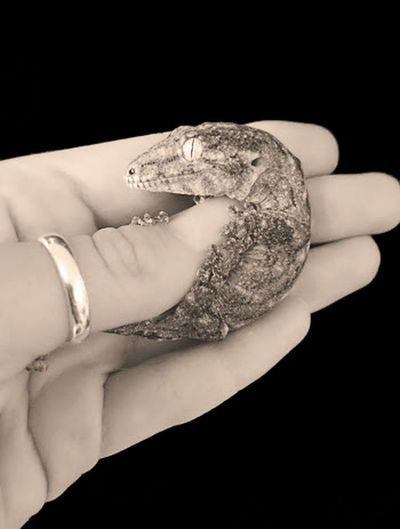 Rhacodactylus leachianus baby Lizard Lizards Reptile Reptile Love Adult Baby Lizard Black And White Black And White Photography Black Background Close-up Cute Gecko Geckos Human Body Part Human Hand One Woman Only Pet Rhacodactylus Rhacodactylus Leachianus Studio Shot