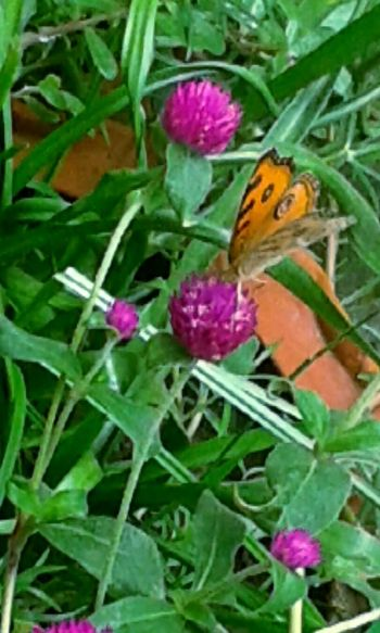 Taking Photos Hanging Out Beautiful Flowers.My Garden. Beautiful Butterfly