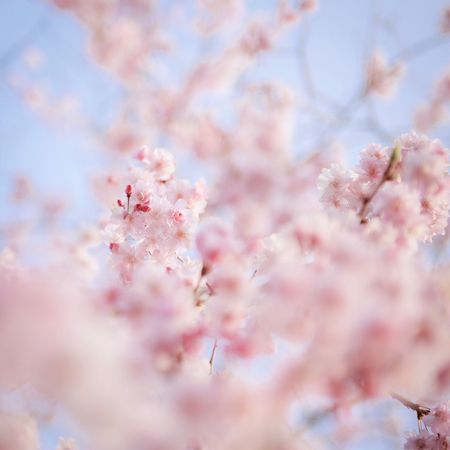 Pink Color Flower Blossom Flowering Plant Plant Fragility Beauty In Nature Cherry Blossom Tree Freshness Growth Vulnerability  Springtime Branch Cherry Tree Nature No People Low Angle View Sky Day