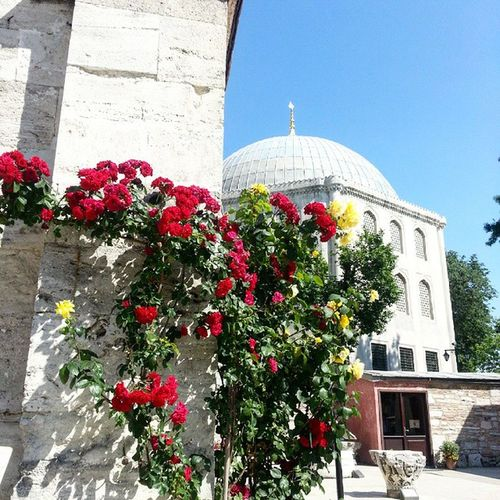 Ayasofya nın gulleri... Gul Roses Instaflower Instaflowerpics Istanbullife Instanbulda Istanbuldayasam Kulturelmiras Hagiasophia  Turkiyekareleri Turkishfollowers Instagram_turkey Tr_turkey Tarihiyarımada