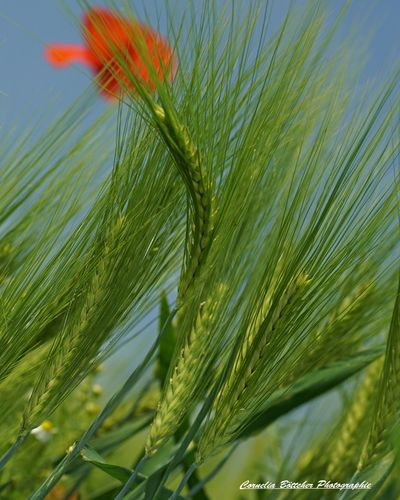 Nature Green Color Beauty In Nature Close-up Summer No People Outdoors Flower Day Sky Freshness Fragility Korn Kornfeld Kornblume Kornfed