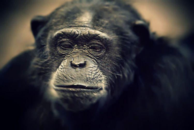 Sad Ape, from a photostory on animals in Zoo's, which includes us... Taking Photos Documentary Reportage Photography zoo humans sadness Complacent Bored Unhappy Colour Portrait Documenary Reportage