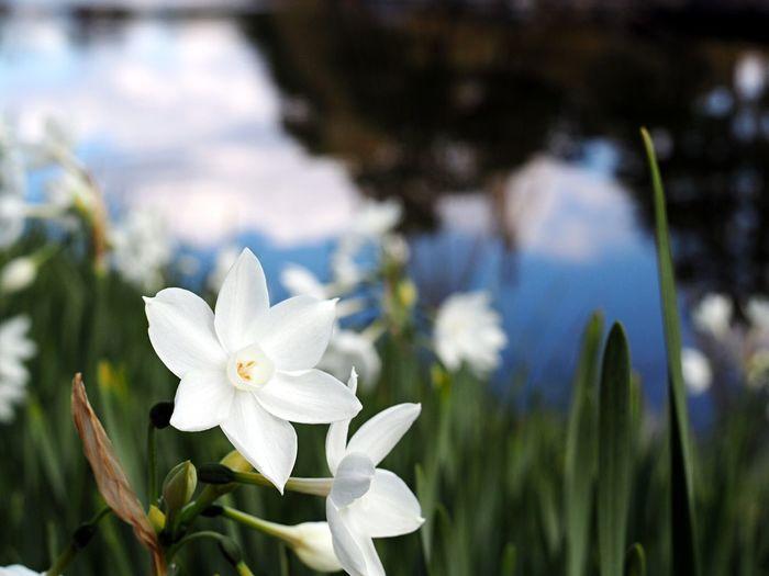 Flowers 水仙 白鳥庭園