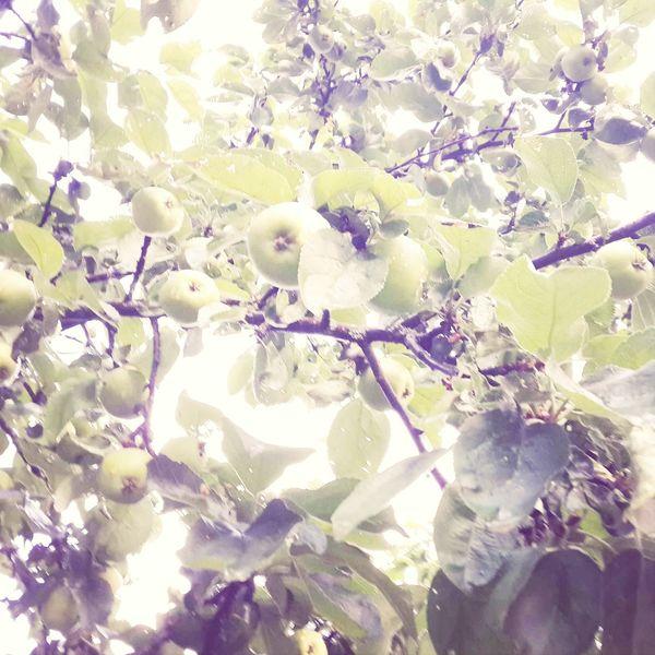 Summer Apples Fruits Pretty