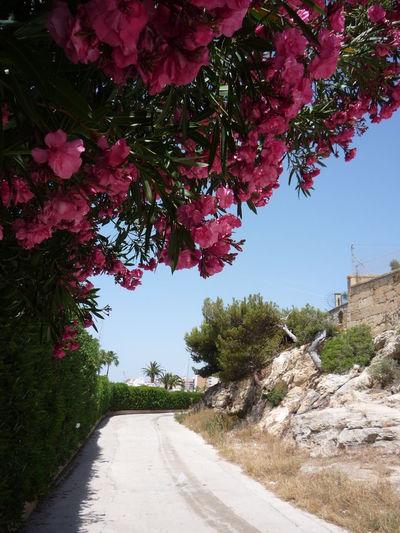 #beautiful #daylight #Holidays #mallorca #Nature  #nopeople #pinkflowers #spain