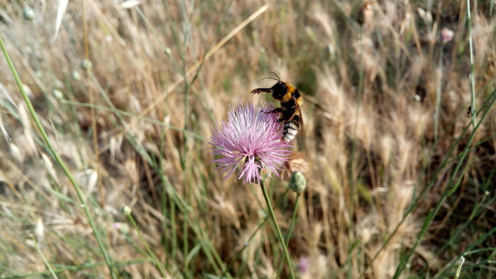 Abejorro en la flor Abejorro Flor Flor Rosa Campo Picoftheday Flores Primavera Planta Flower Head Flower Perching Pollination Butterfly - Insect Insect Thistle Purple Animal Themes Close-up Bee Buzzing Plant Life Pollen