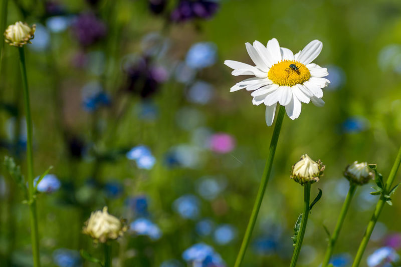 Close-up of white daisy blooming in field
