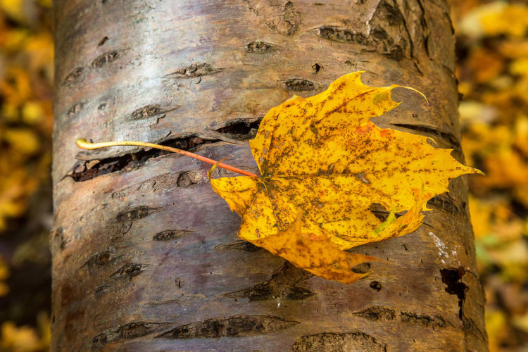 Close-up of yellow leaf on tree trunk