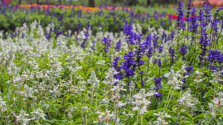 Orchid Garden Orchid Gardens Agriculture Beauty In Nature Blooming Blossom Close-up Crocus Day Field Flower Flower Head Flowerbed Fragility Freshness Green Color Growth Lavender Nature No People Outdoors Plant Purple Rural Scene Springtime