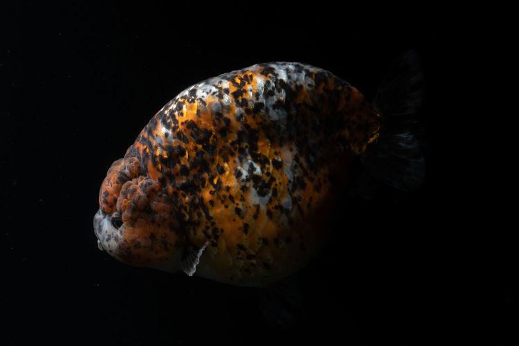 Close-up of orange leaf over sea against black background