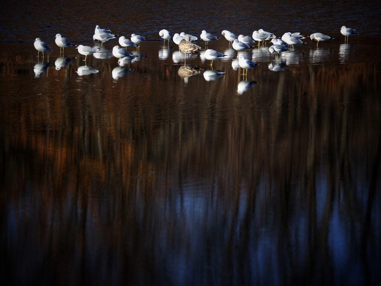 reflection, water, no people, bird, group of animals, animal wildlife, large group of animals, nature, animals in the wild, lake, animal themes, day, vertebrate, tranquility, animal, beauty in nature, high angle view, outdoors, waterfront, flock of birds, floating on water