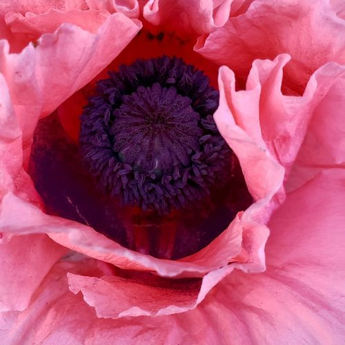 Peak a Boo... The Mobile Photographer - 2019 EyeEm Awards Flower Head Flower Petal Full Frame Pink Color Close-up Plant Magnification Plant Life In Bloom Stamen Blooming