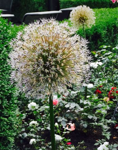 Dornbirn Beauty In Nature Blooming Close-up Dandelion Day Flower Flower Head Fragility Freshness Growth Nature Nightmare Memories No People Outdoors Plant Thistle Town Square