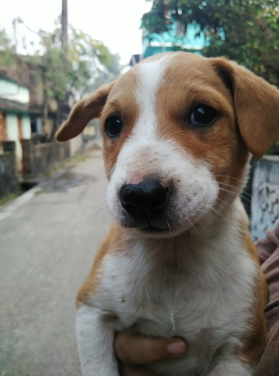 canine, dog, pets, mammal, domestic, one animal, domestic animals, portrait, vertebrate, looking at camera, close-up, focus on foreground, no people, day, animal body part, young animal, front view, jack russell terrier, snout, animal mouth
