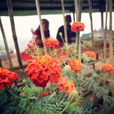 HuaweiP9 Flower Beauty In Nature Nature Plant Focus On Foreground ChangmaiThailand