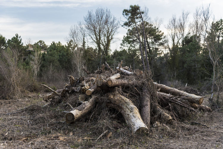 Timber Harvesting Lumber Industry, fire wood pile in the forest Bark Beauty In Nature Day Dead Plant Deforestation Driftwood Fallen Tree Field Forest Land Log Nature No People Non-urban Scene Outdoors Plant Scenics - Nature Sky Timber Tranquil Scene Tranquility Tree Wood Wood - Material WoodLand