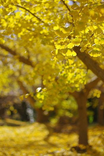ピークを過ぎてましたが、なんとかそれっぽく撮ってみました。(笑) いちょう 銀杏 Ginkgo Biloba Ginkgo Tree Ginkgo Leaves Yellow Leaves