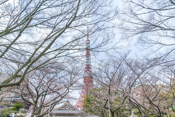 Shiba Park Tokyo Tower during spring cherry blossom sakura Blossom Cherry Flower Minatoku Park Sakura Shiba Spring Tokyo Tower