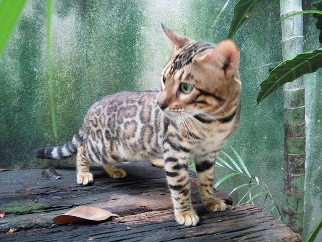 Animal Themes One Animal Mammal Pets Feline Domestic Cat Domestic Animals No People Day Outdoors Close-up Bengal Bengal Cat