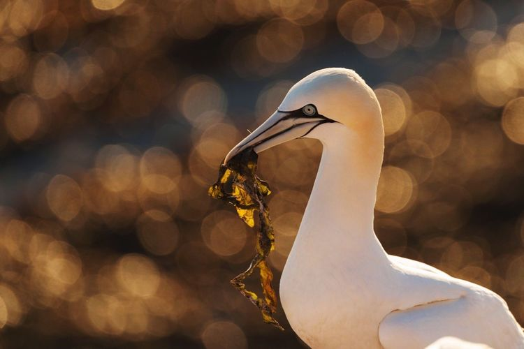The gannet is 'Seabird of the Year 2016' in Germany. My fav bird is awarded that title to increase attention on the protection of seabirds. Last year, there were more than 600 breeding pairs on Helgoland in the North Sea. So, I have tagged and will tag all my gannet pics with Seabird Of The Year 2016 Enjoy the collection! Birds Nature Seabirds Animals Birdwatching Gannet Bird Photography Helgoland Helgoland_collection Eye4nature Nature_collection EyeEm Birds EyeEm Nature Lover EyeEm Best Shots - Nature Flares Nikon Nikonphotography